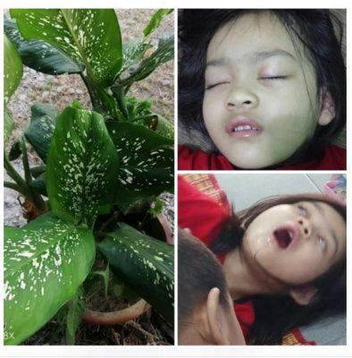 [Klarifikasi] Dieffebachia , Tanaman hias yang beracun